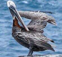 Brown pelican 4. by Anne Scantlebury
