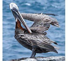 Brown pelican 4. Photographic Print