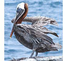 Brown pelican 5. Photographic Print