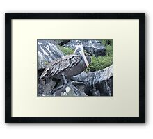 Brown pelican 6. Framed Print