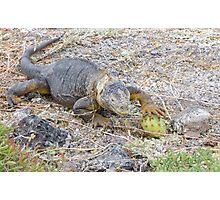 Land iguana 6. Photographic Print