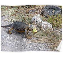 Land iguana 8. Poster