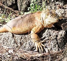Land iguana 10. by Anne Scantlebury