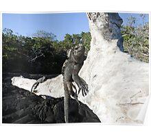 Marine iguana. Poster
