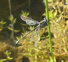 Emerald Damselfly by MikeSquires