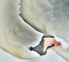 Preening. by Lilian Marshall