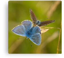 Common Blue Butterflies Canvas Print