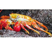 Sally lightfoot crab 4. Photographic Print