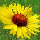 Wild Gaillardia of the Rockies by Julie's Camera Creations <><