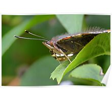 Red Admiral Butterfly Profile     Poster