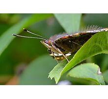 Red Admiral Butterfly Profile     Photographic Print
