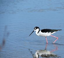 Black necked stilt. by Anne Scantlebury