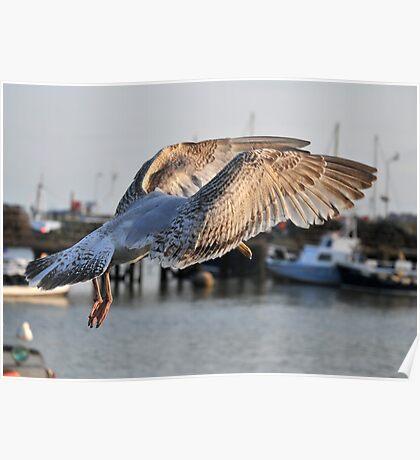 Juvenile Herring Gull Landing, Bridlington Harbour Poster