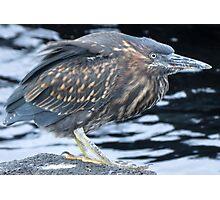 Striated heron. Photographic Print