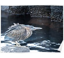 Striated heron 1. Poster