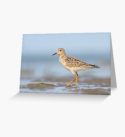 Buff-breasted Sandpiper. Greeting Card