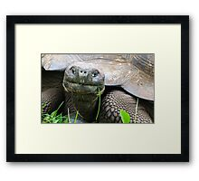 Giant tortoise. Framed Print