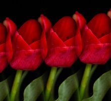 Tulips United by Don Schwartz
