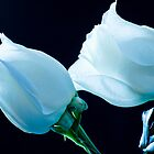 White Roses in Blue Light by Don Schwartz