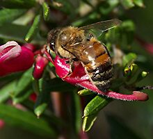Busy, buzzy, bumblebee, fly away and let me be.......! by Roy  Massicks