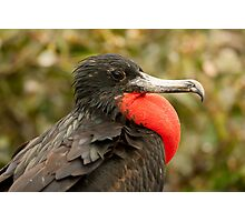 Male Magnificent Frigatebird Photographic Print