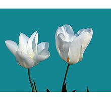 two white tulip flowers, floral photo art Photographic Print