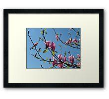 spring pink magnolia flowering tree Framed Print
