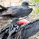 Frigate bird 2. by Anne Scantlebury