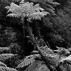 Tree Ferns. by Bette Devine