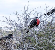 Frigate bird 6. by Anne Scantlebury