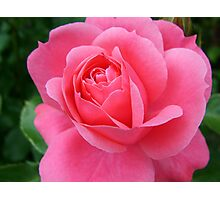 pink rose flower, floral nature photography. Photographic Print