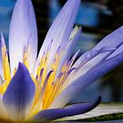Amazon Waterlily by Ryan Carter