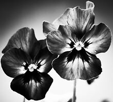 colourless beauty by Alison Hill