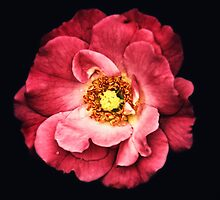 A Rose From The Shadows by Sharon Woerner