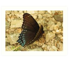 Red Spotted Purple Art Print