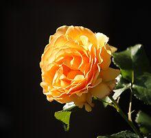 glowing rose, orange by Jicha