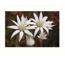 Fabulous Flannel Flowers! Art Print
