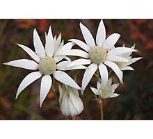 Fabulous Flannel Flowers! Photographic Print