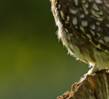 Backlit Little Owl Sticker