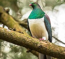 New Zealand Wood Pigeon by Kimball Chen