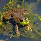 Resting Bronze Frog by Kathy Baccari