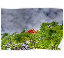 Royal Poinciana Tree (Flamboyant) in Nassau, The Bahamas Poster