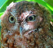 A common screech owl by jozi1
