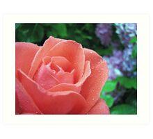 Rose after shower Art Print