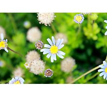 Daisy Flower - Photography Photographic Print
