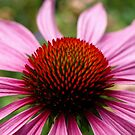 A Burst of Echinacea. (View Larger) by Lee d'Entremont