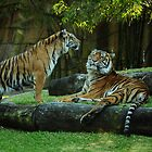 tigers  by warren dacey