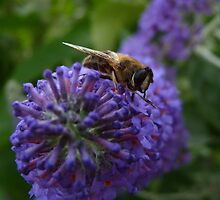 Buzzing on the Buddleia by Kat Simmons