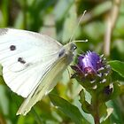 Cabbage White Butterfly-Uplyme, Devon, UK by lynn carter