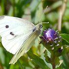 Cabbage White Butterfly-Uplyme, Devon, UK by lynn carter